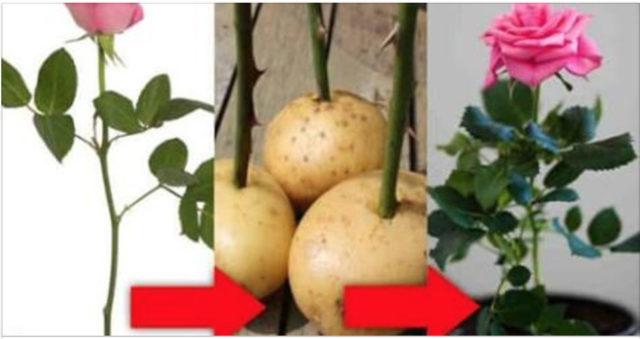 come far germogliare una rosa