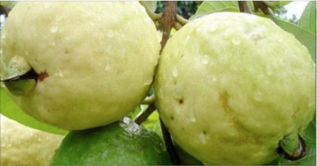 frutto che guarisce le ferite