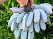 banana blu